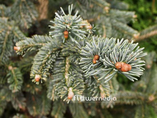 Flowermedia Abies