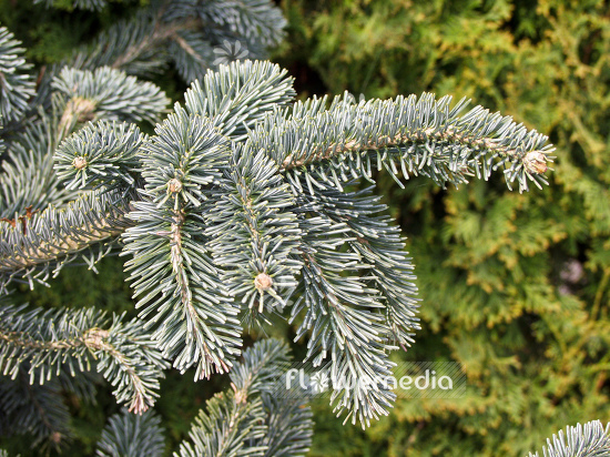 Abies procera 'Glauca' - Noble fir (100010)