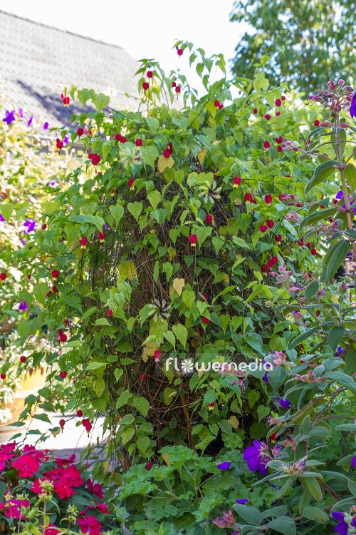 Abutilon Megapotamicum Trailing Abutilon 106458 Flowermedia