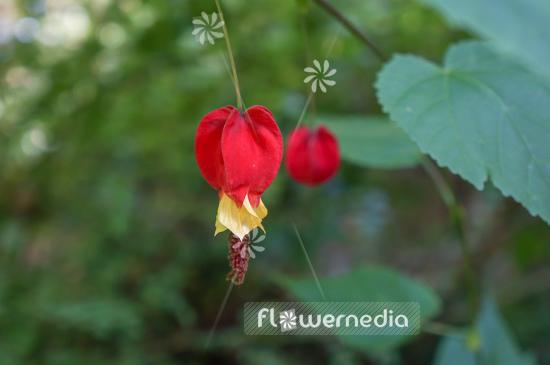 Abutilon Megapotamicum Trailing Abutilon 106459 Flowermedia