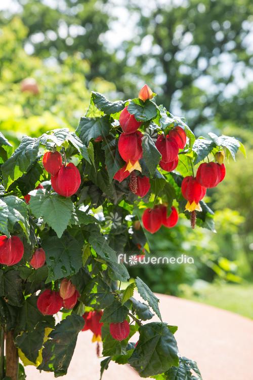 Abutilon Megapotamicum Trailing Abutilon 111762 Flowermedia