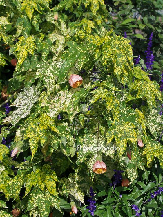 Abutilon Pictum Thompsonii Redvein Abutilon 100013 Flowermedia