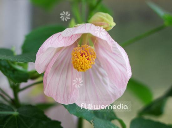 Abutilon X Hybridum Chinese Lantern 106395 Flowermedia