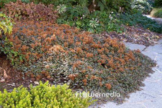Acaena Microphylla Kupferteppich New Zealand Bur 106486