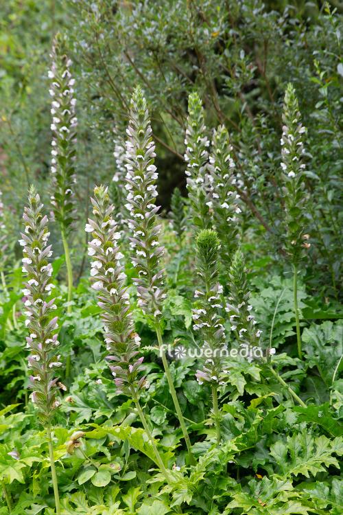 Acanthus Mollis Bears Breech 111790 Flowermedia