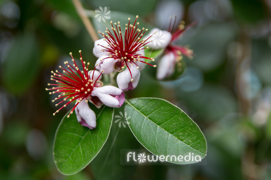 Acca sellowiana - Pineapple guava (111802)