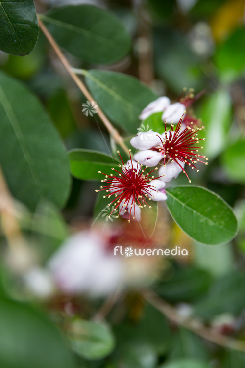 Acca sellowiana - Pineapple guava (111803)