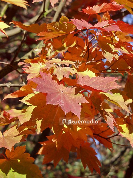 Acer Japonicum Var Vitifolium Japanese Maple 106399 Flowermedia