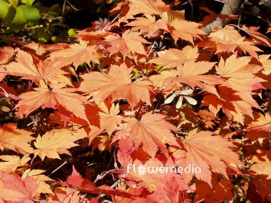 Acer Japonicum Var Vitifolium Japanese Maple 106402 Flowermedia
