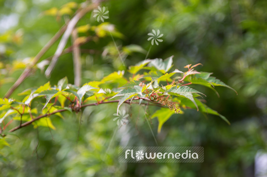 Acer micranthum - Small-leaved maple (106677)