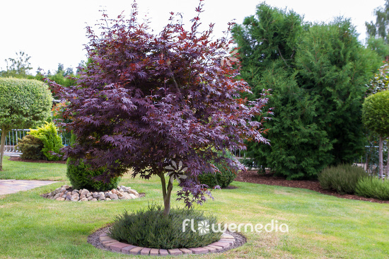 Acer Palmatum Atropurpureum Japanese Maple 106629 Flowermedia
