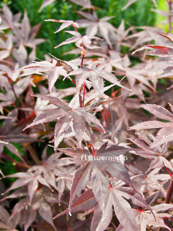 Acer palmatum 'Bloodgood' - Japanese maple (100034)