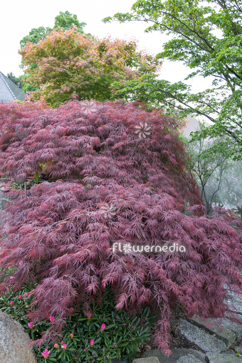 Acer palmatum 'Garnet' - Japanese maple (112380)