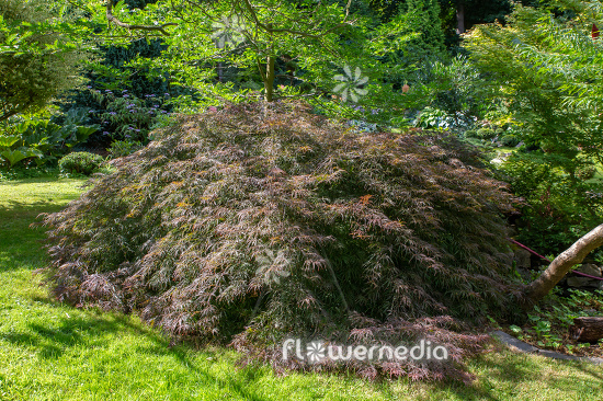 Acer palmatum 'Garnet' - Japanese maple (112381)