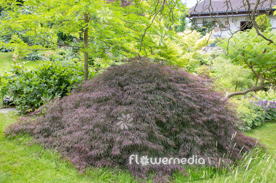 Acer palmatum 'Garnet' - Japanese maple (112382)