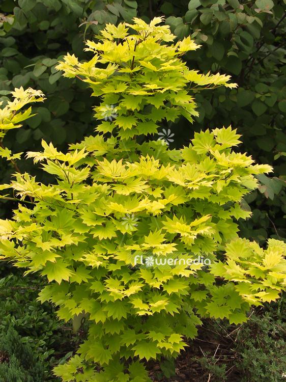 Acer Shirasawanum Aureum Golden Shirasawa Maple 100045