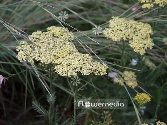 Achillea 'Credo' - Golden yarrow (100050)