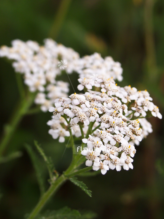Achillea millefolium - Common yarrow (100056)