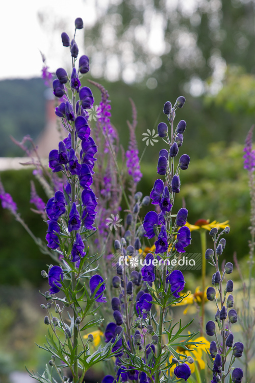 Aconitum napellus - Monkshood (109403)