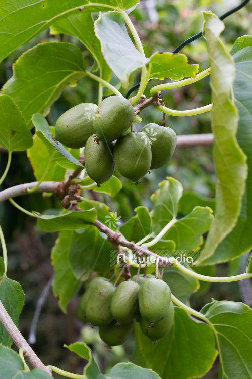 Actinidia 'Mountain Giant' - Kiwi fruit (102226)