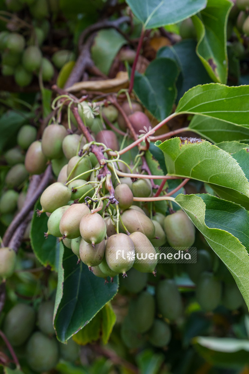 Actinidia 'Red Beauty' - Kiwi fruit (102227)