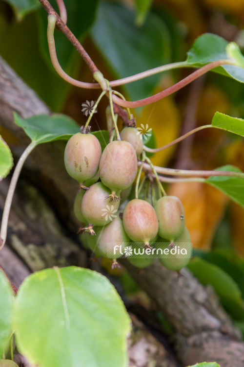 Actinidia 'Red Beauty' - Kiwi fruit (102229)
