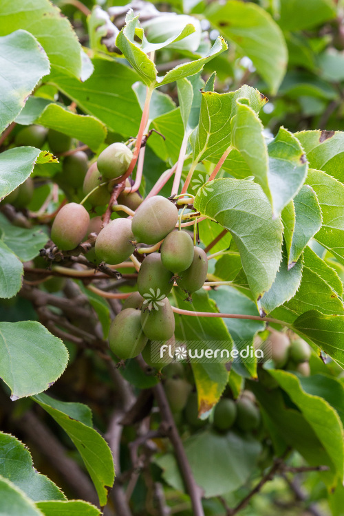 Actinidia Red Beauty Kiwi Fruit Flowermedia