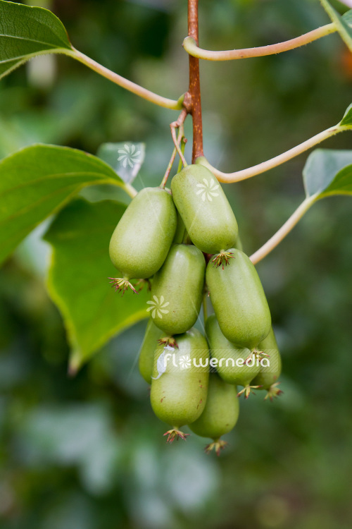 Actinidia 'WM 4-9' - Kiwi fruit (102231)