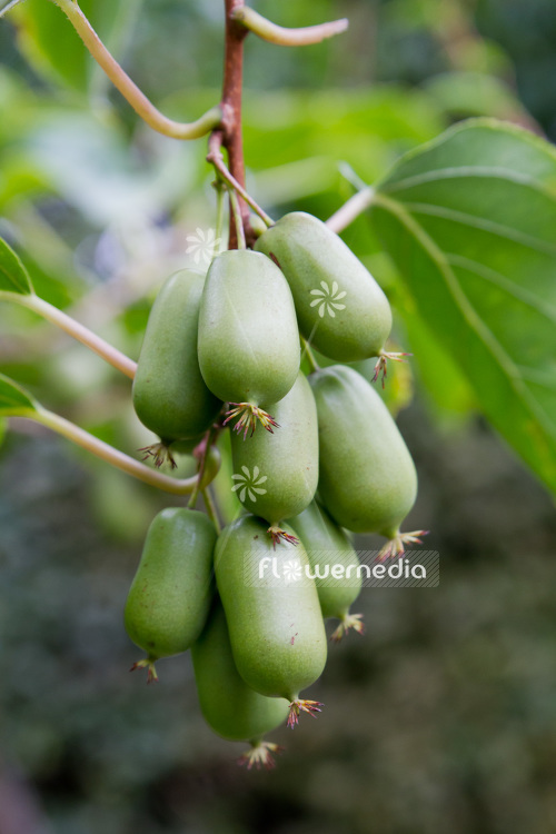 Actinidia 'WM 4-9' - Kiwi fruit (102233)