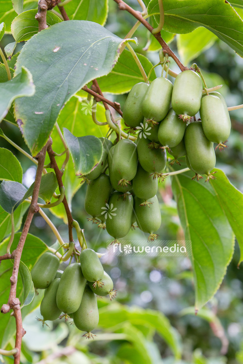 Actinidia 'WM 4-9' - Kiwi fruit (102234)