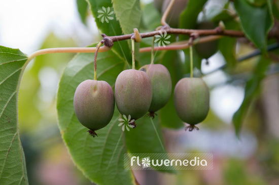 Actinidia 'WM ST-1' - Kiwi fruit (102235)