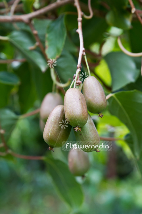 Actinidia 'WM ST-2' - Kiwi fruit (102236)