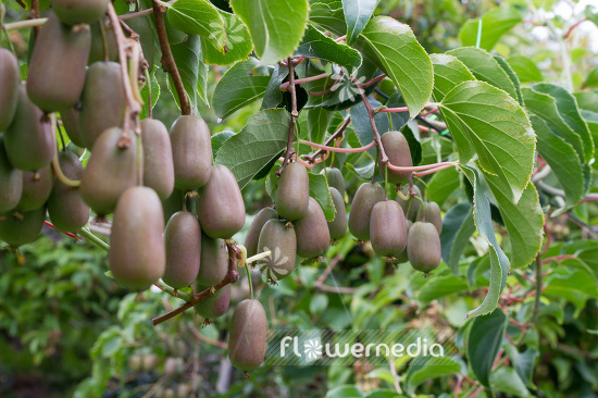 Actinidia 'WM ST-2' - Kiwi fruit (102238)