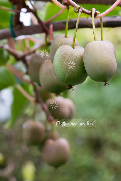 Actinidia 'WM-HA-12-25' - Kiwi fruit (102240)
