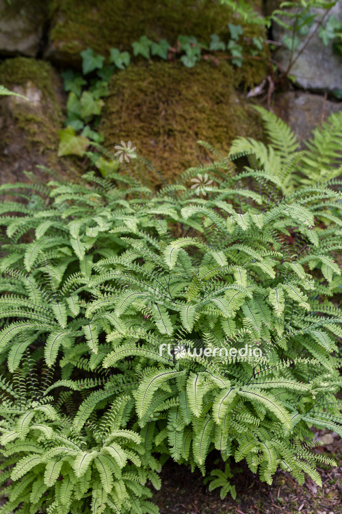 Adiantum pedatum - Northern maidenhair fern (108849)
