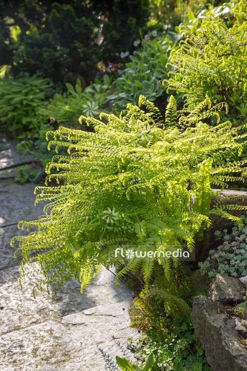 Adiantum pedatum - Northern maidenhair fern (109416)