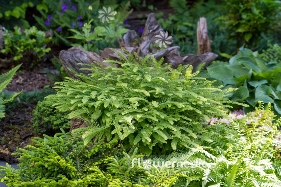 Adiantum pedatum - Northern maidenhair fern (109417)