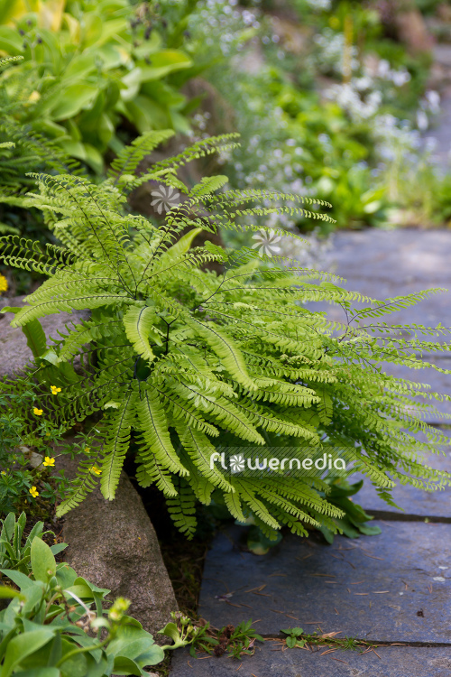 Adiantum pedatum - Northern maidenhair fern (109419)