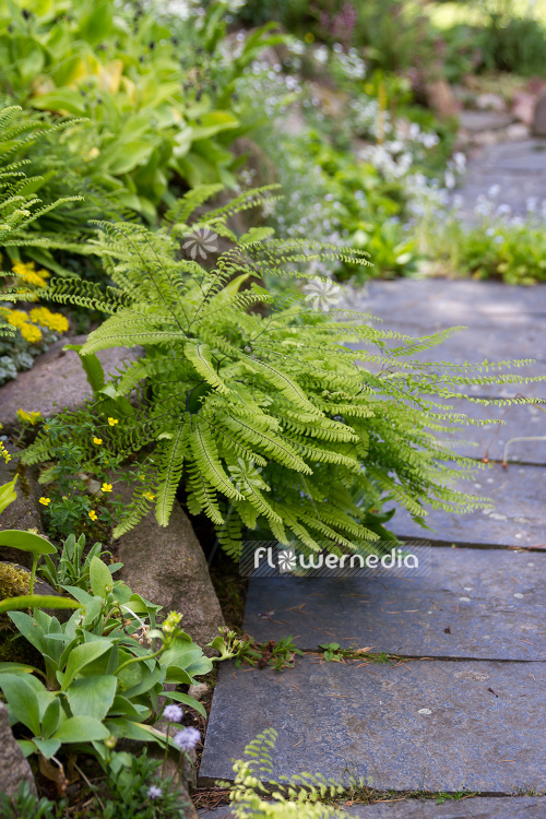Adiantum pedatum - Northern maidenhair fern (109420)
