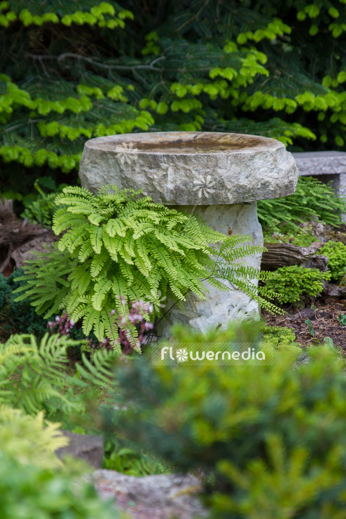 Adiantum pedatum - Northern maidenhair fern (109421)