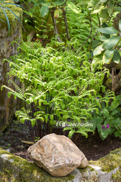 Adiantum pedatum - Northern maidenhair fern (109426)