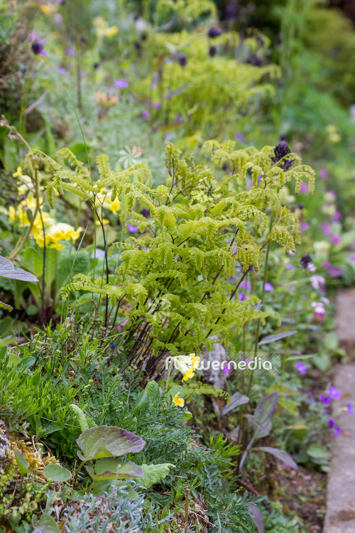 Adiantum pedatum - Northern maidenhair fern (109428)