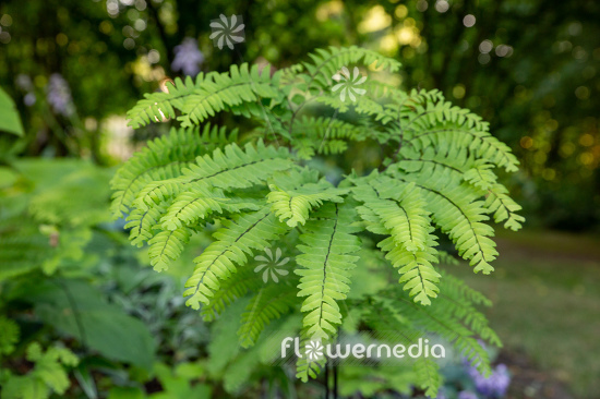 Adiantum pedatum - Northern maidenhair fern (111845)