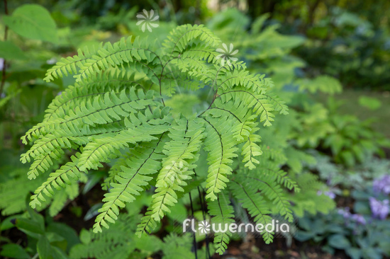 Adiantum pedatum - Northern maidenhair fern (111846)
