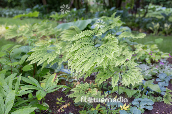 Adiantum pedatum - Northern maidenhair fern (111848)