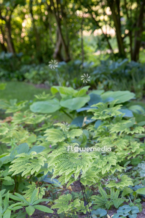 Adiantum pedatum - Northern maidenhair fern (111849)