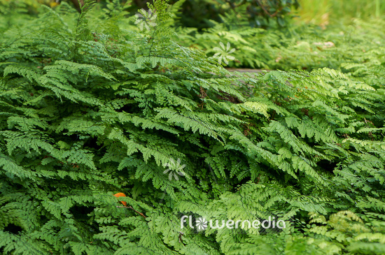 Adiantum venustum - Evergreen maidenhair (108699)