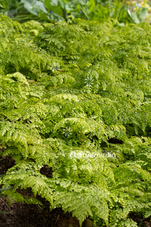 Adiantum venustum - Evergreen maidenhair (108701)