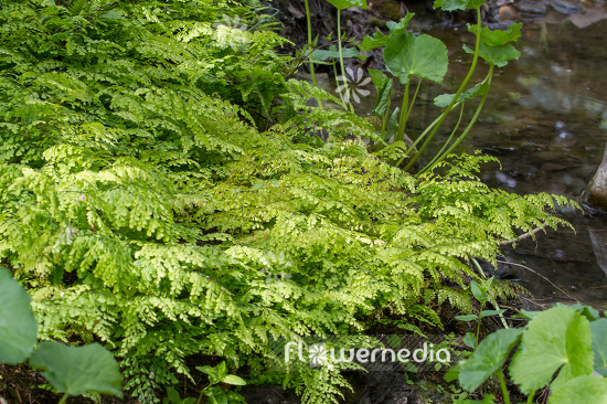 Adiantum venustum - Evergreen maidenhair (108702)