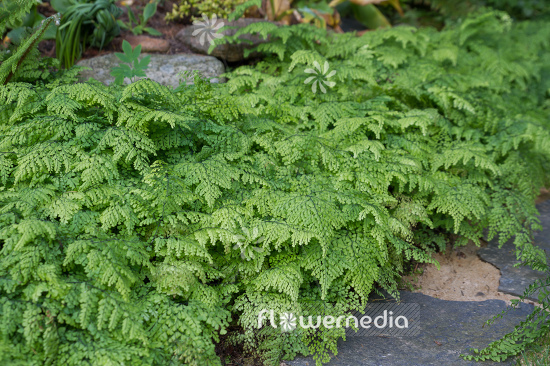 Adiantum venustum - Evergreen maidenhair (108703)